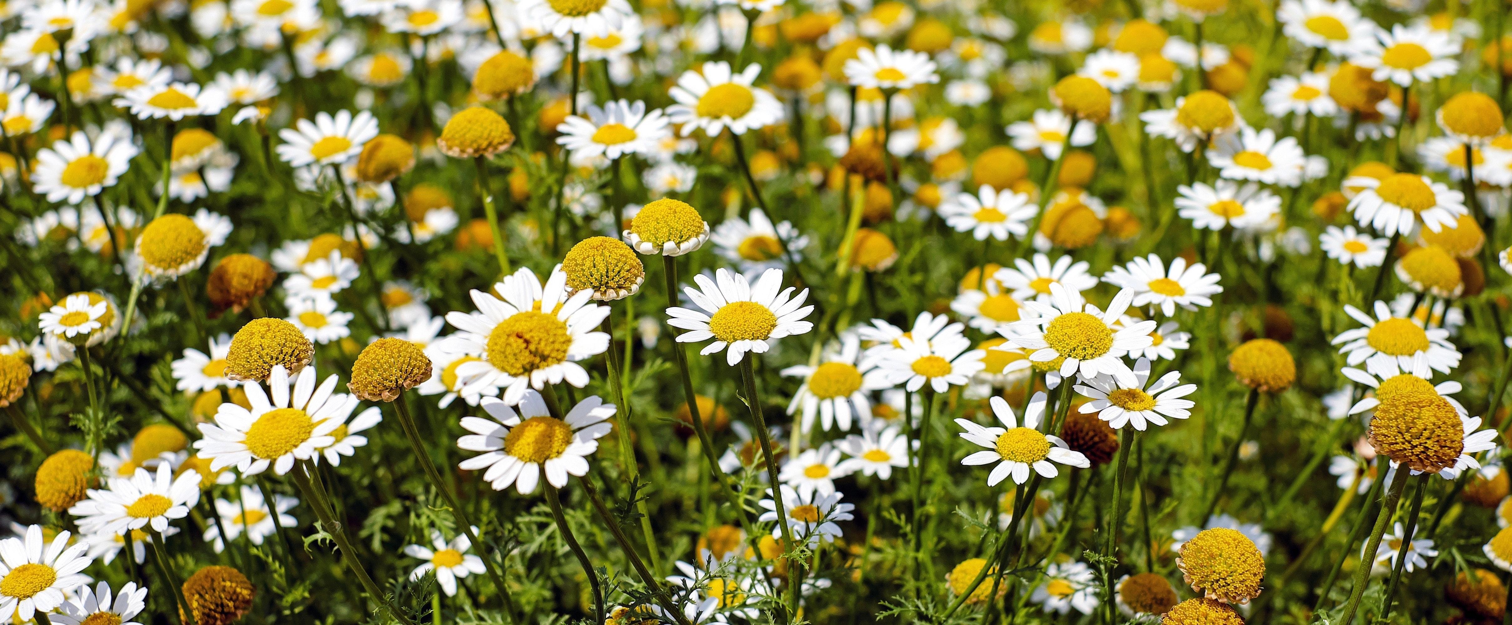 chamomile flowers growing in field